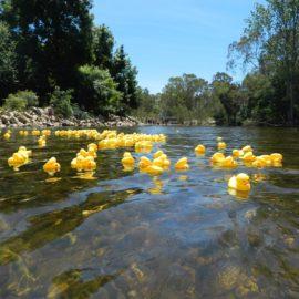 2016 Duck Regatta after ducks released on King River