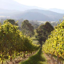 Pizzini Wines vineyards